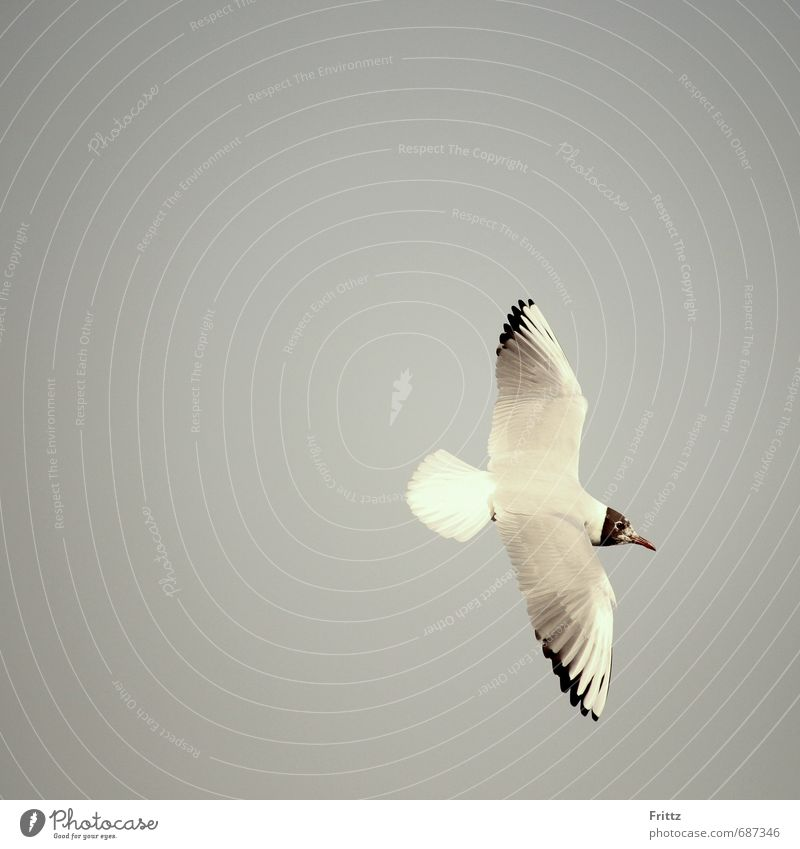Black-headed Gull Nature Air Animal Wild animal Bird Wing white bird with black head Seagull 1 Flying Free White flight Colour photo Exterior shot