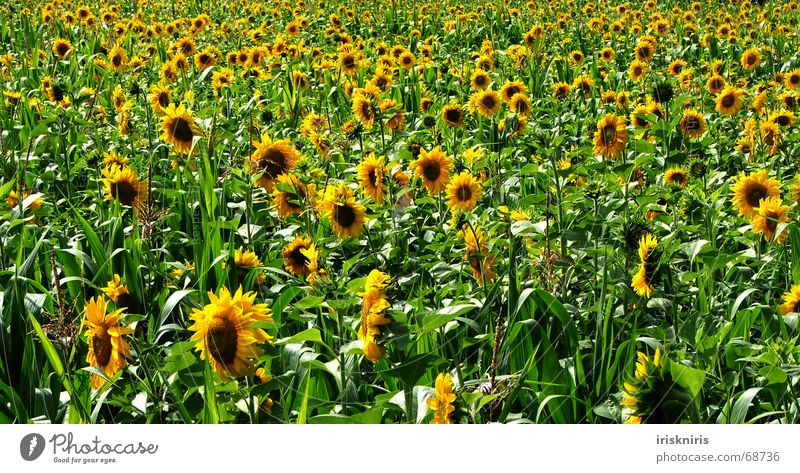 Endless buzzer Summer Sunflower Meadow Accumulation Yellow Green Bee Well-being Infinity Field Blossom Sunflower field Nature usable meadow Maize bee sums
