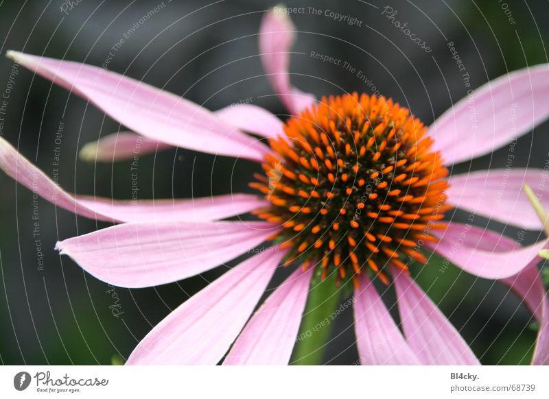 Flower Green Black Blossom Orange Pink Stalk Pollen Blossom leave Stamen Nectar