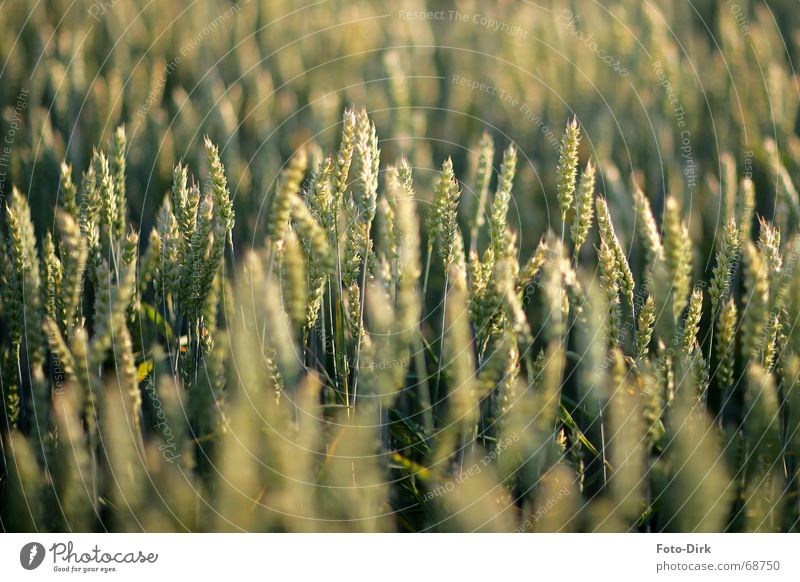 cornfield Field Wheat Ear of corn Agriculture Cornfield Grain