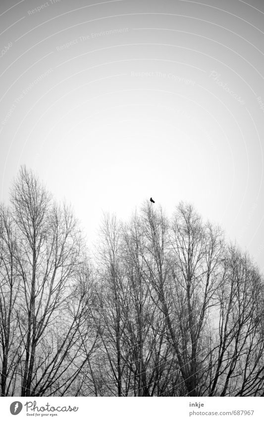a crow doesn't make a summer yet Environment Nature Sky Cloudless sky Spring Autumn Climate Climate change Tree Wild plant Treetop Branch Branchage Forest