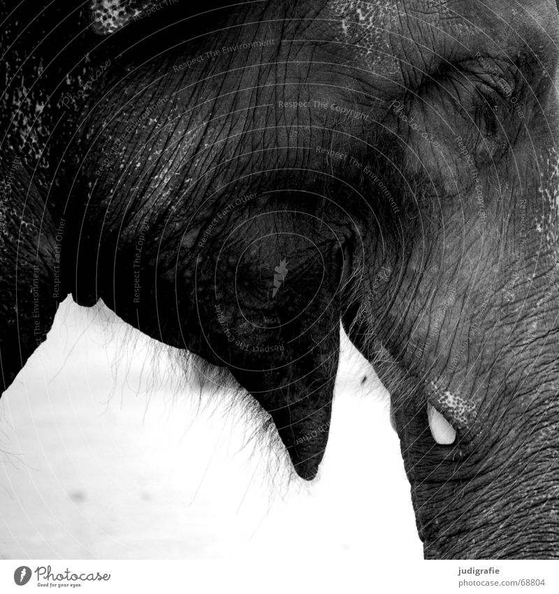 elephant Animal Wild animal Laughter Large Elephant Mammal Trunk Tusk Fuzz Heavy Wrinkles Asia good-natured Muzzle Black & white photo Eyes Profile