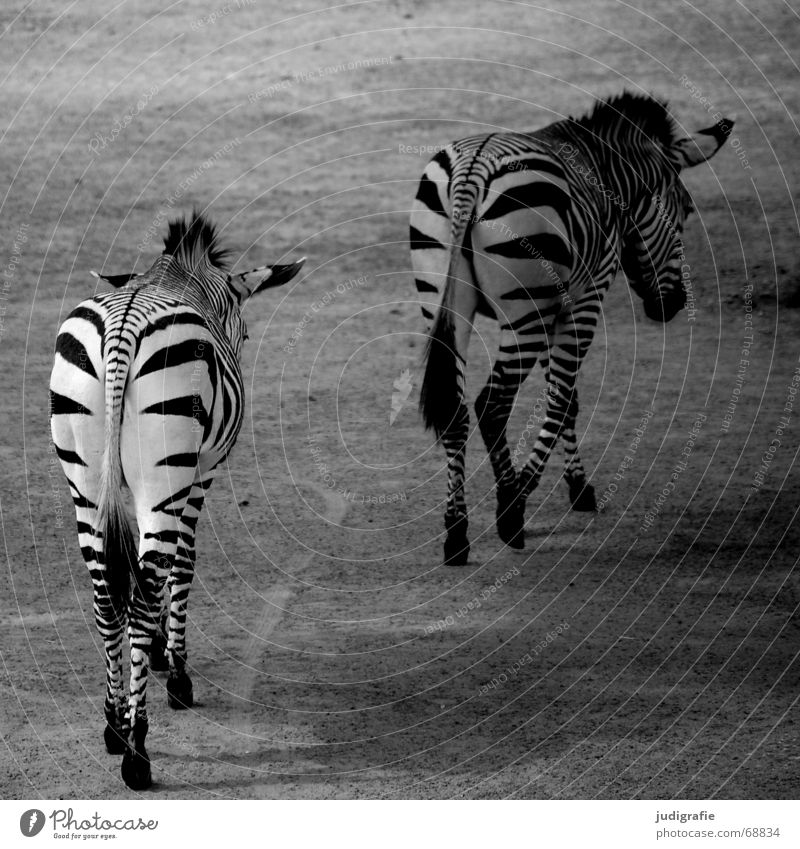 White Black Animal 2 Pair of animals Walking In pairs Stripe Pelt Mammal Striped Zebra Mane Right ahead Free-roaming Odd-toed ungulate