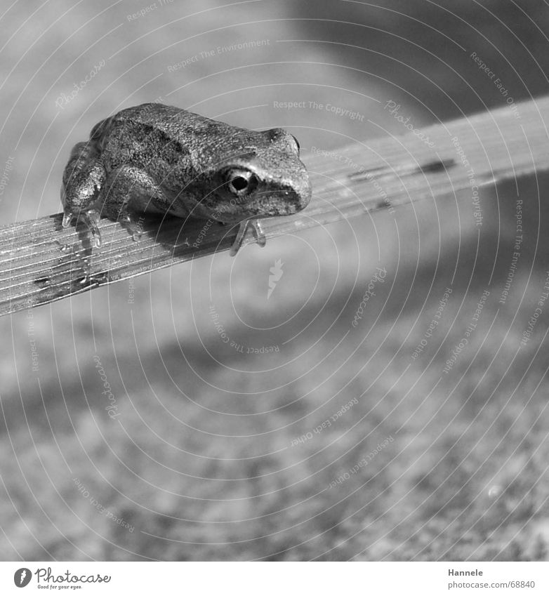 bouncer in b/w Animal Amphibian Grass Blade of grass Jump Hop Green Frog Water Stone Nature