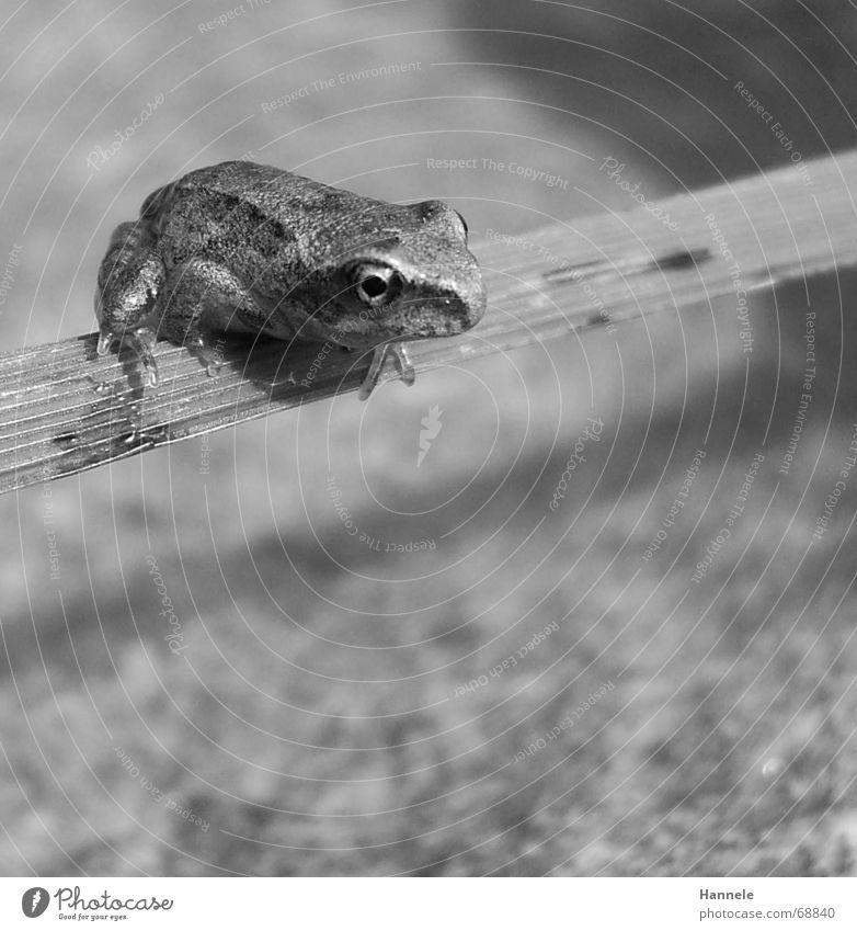 Nature Water Green Animal Jump Grass Stone Blade of grass Frog Hop Amphibian Plant