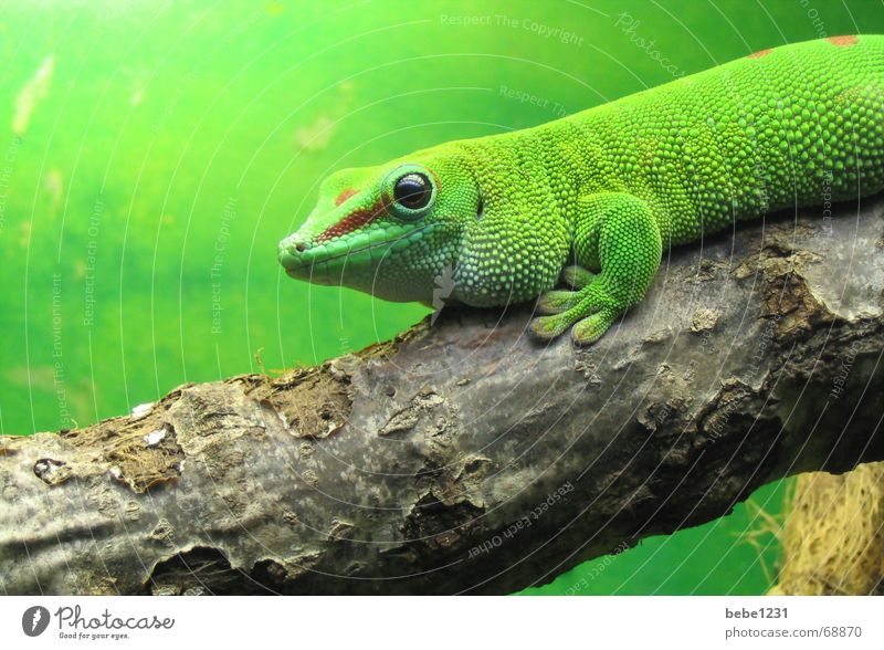 it greenens so greenly Reptiles Saurians Virgin forest Green Lizards Tree Branch