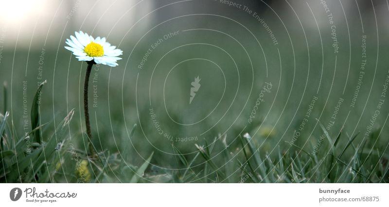 Nature Beautiful White Flower Green Joy Calm Loneliness Meadow Grass Sadness Field Gloomy Lawn Daisy Arrogant