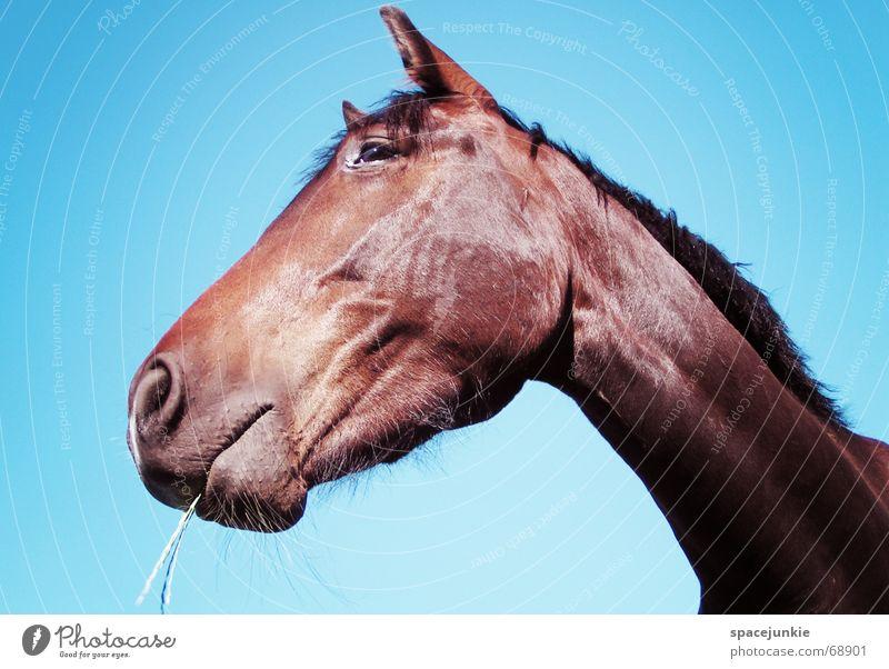 Celestino (2) Horse Animal Exterior shot Grass Blade of grass To feed Mane Nature Sky Blue
