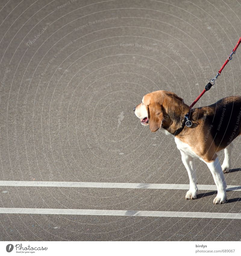 Beagle photo Street Asphalt Dog 1 Animal Line Observe Stand Esthetic Funny Positive Love of animals Dog lead Partially visible Colour photo Exterior shot