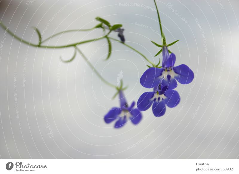 White Flower Blue Plant Blossom Veronica Bell Delicate Curved Bird's eye Lobelia