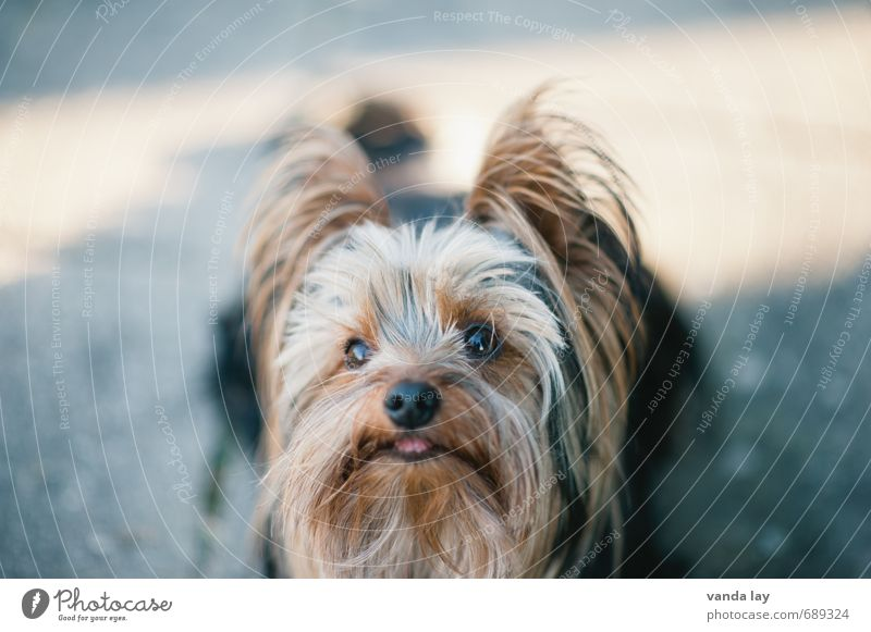 Yorkie Hair and hairstyles Pet Dog Animal face Yorkshire terrier Purebred dog 1 Friendship Walk the dog Colour photo Exterior shot Deserted Copy Space top Day