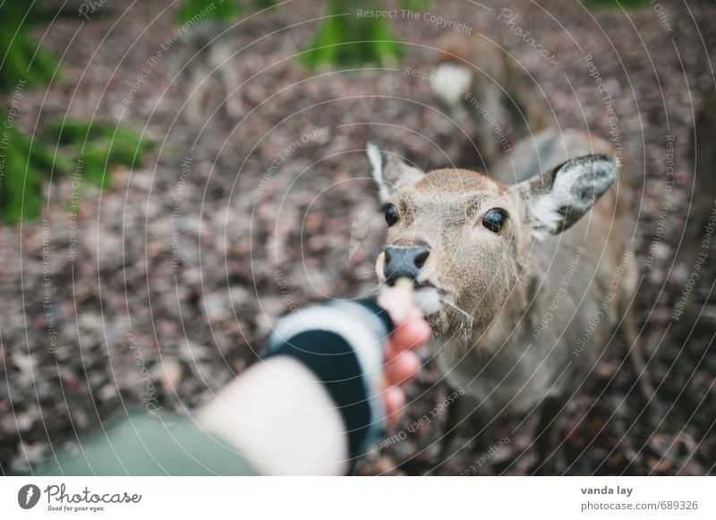 Nature Animal Winter Forest Environment Autumn Eating Leisure and hobbies Wild animal Hunting Feeding Roe deer Game park Fallow deer Petting zoo Doe eyes