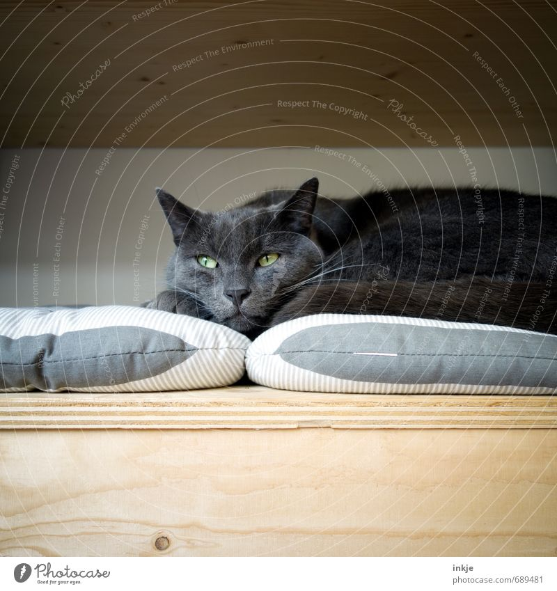 The Thinker Animal Pet Cat Animal face Domestic cat 1 Box Cushion Wooden box Lie Looking Dream Wait Cuddly Soft Emotions Moody Contentment Protection