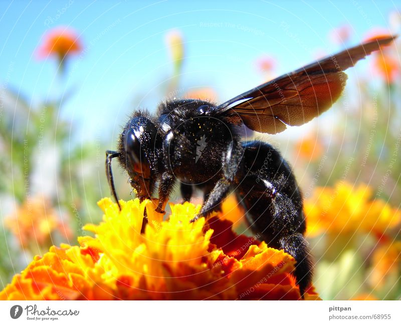 black on yellow? bee! Environment Nature Animal Sky Sunlight Summer Beautiful weather Flower Blossom Wild plant Bee Wing 1 Yellow Black Wasps Insect Bumble bee