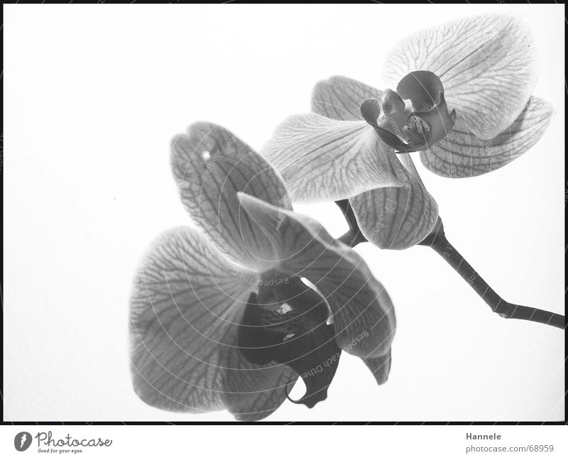 orchid valleys Orchid Flower Blossom Plant 2 Black White Fragile Delicate Asia Blossoming Black & white photo questionable Bright Nature