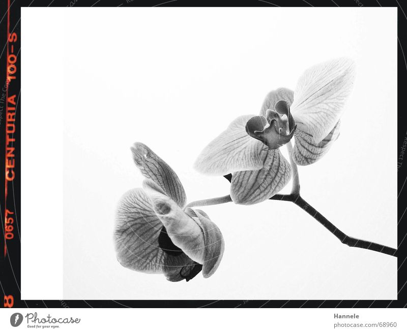 orchidäles2 Orchid Flower Blossom Plant Black White Fragile Delicate Asia Blossoming Black & white photo questionable Bright Nature