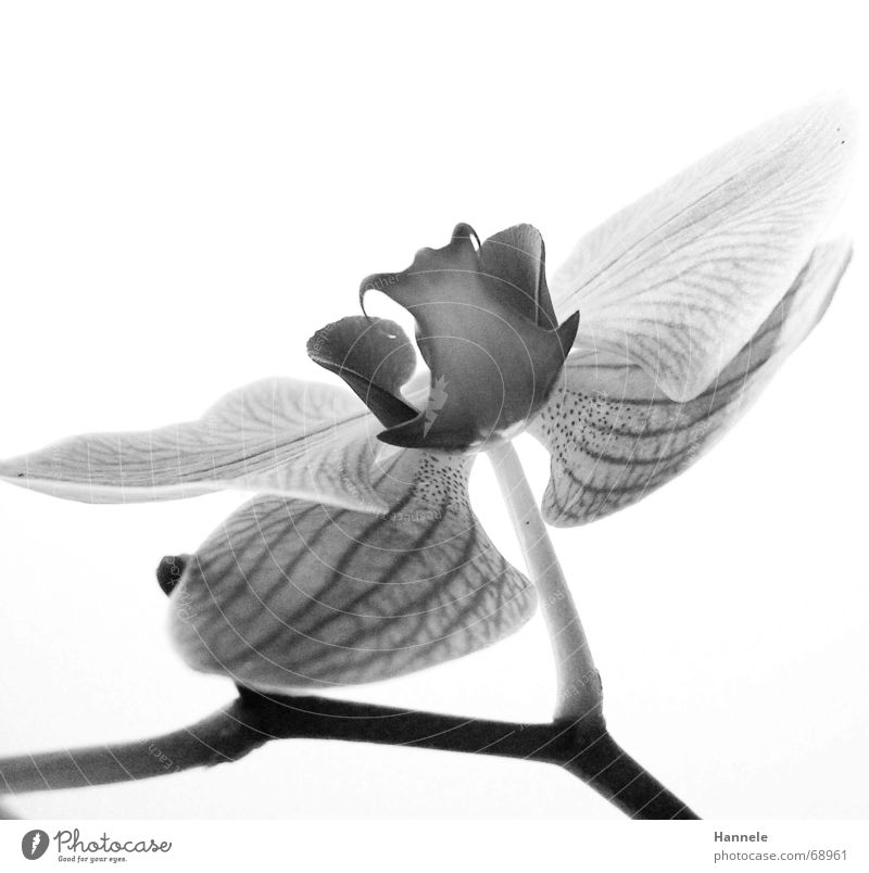 orchidäles3 Orchid Flower Blossom Plant 2 Black White Fragile Delicate Asia Blossoming Black & white photo questionable Bright Nature