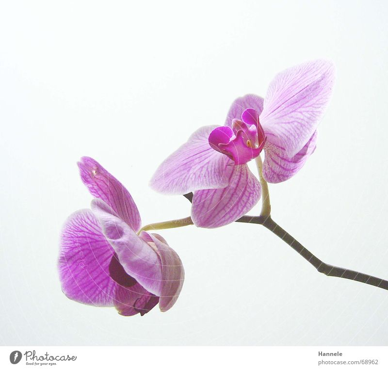 Nature Flower Plant Blossom Bright 2 Pink Asia Delicate Blossoming Orchid Fragile