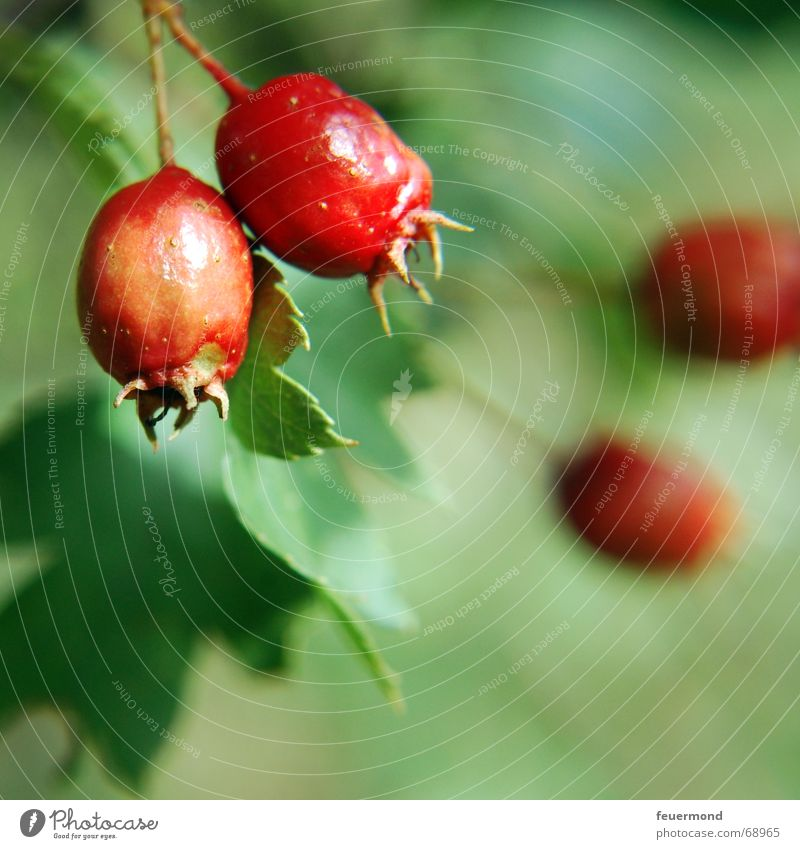 Tree Red Plant Summer Autumn Garden Fruit Bushes Branch Twig Berries Autumnal