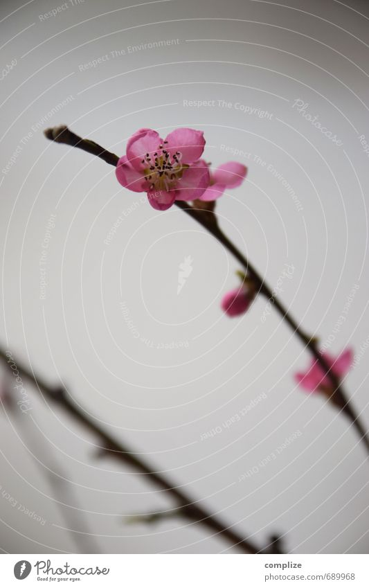 peach blossoms Style Design Exotic Beautiful Spring Plant Flower Blossom Foliage plant Blossoming Living or residing Pink Cherry blossom Twig Branch Decoration