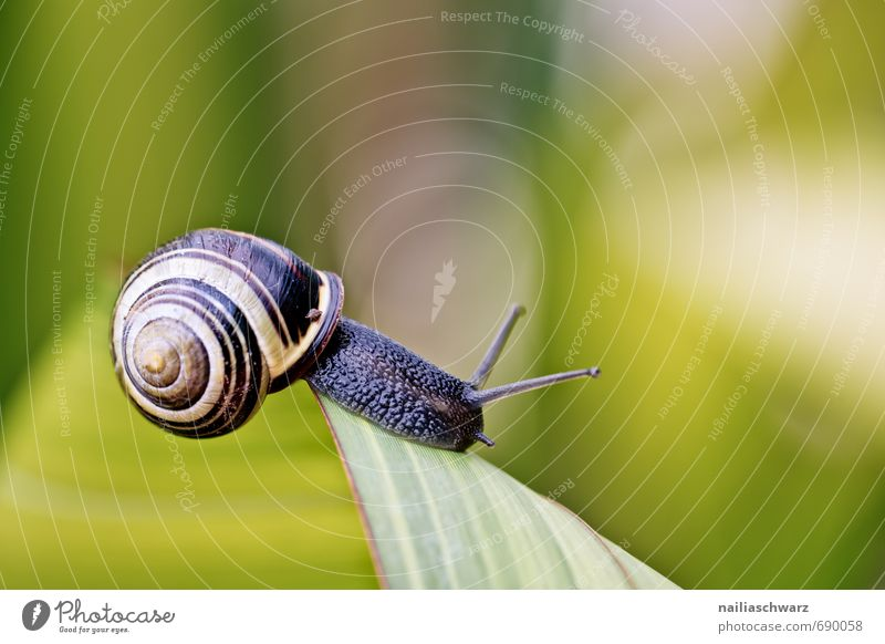 Snail in the garden Garden Animal Leaf Antenna Crawl Running Elegant Beautiful Natural Curiosity Cute Slimy Yellow Black Happiness Spring fever Brave
