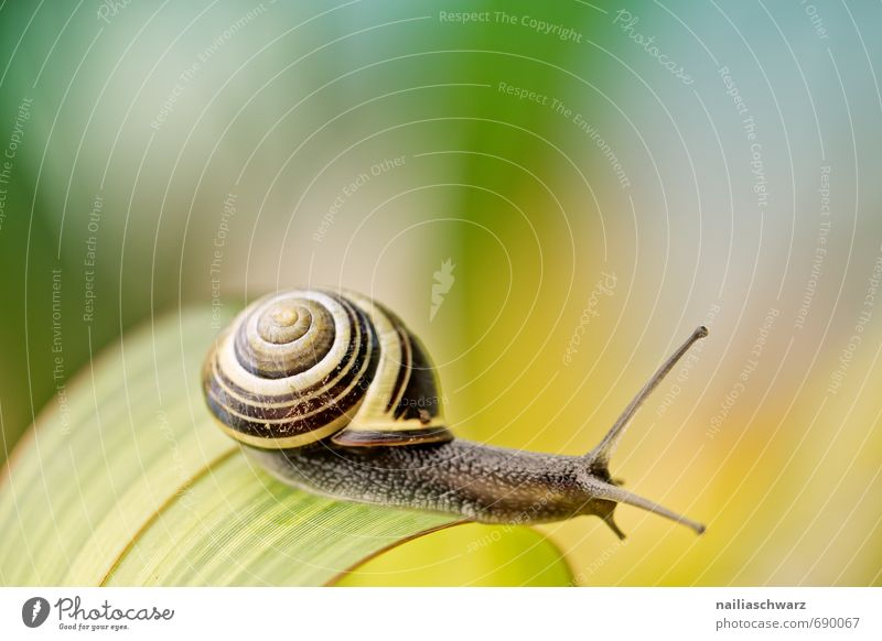 Snail in the garden Garden Animal Leaf Antenna Touch Discover Crawl Happiness Beautiful Natural Curiosity Cute Positive Yellow Black Joy Spring fever Speed