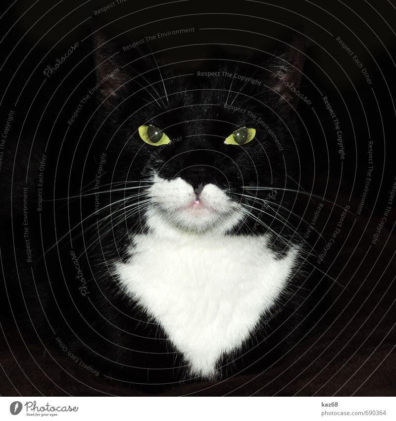 Cat Beautiful White Animal Black Dark Yellow Glittering Elegant Power Wild Illuminate Wait Esthetic Threat Observe