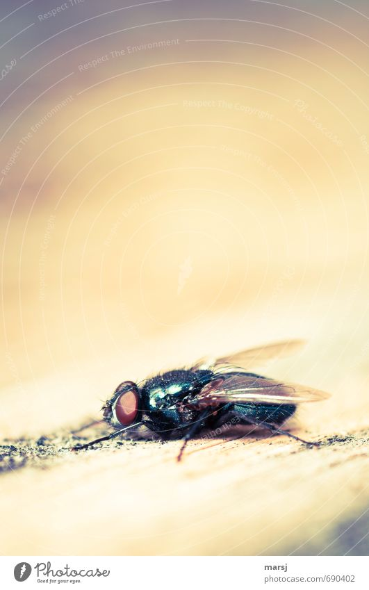 On the lookout Animal Wild animal Fly Wing Insect Compound eye Blowfly 1 Observe Relaxation Lie Authentic Simple Disgust Glittering Creepy Small Natural