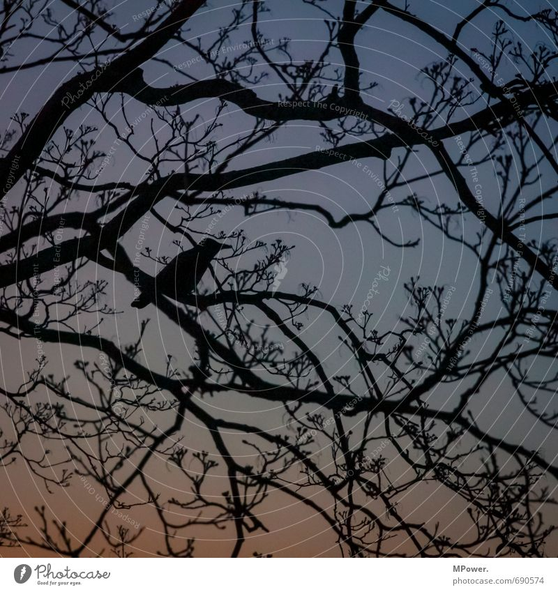 search picture Environment Sunrise Sunset Beautiful weather Tree Park Blue Black Bird Branch Silhouette Raven birds Observe Scout Hide Search Spring Branchage