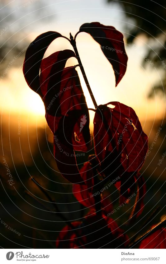Evening mood (1) Leaf Red Hollow Sunset Summer Nature August leaves holey