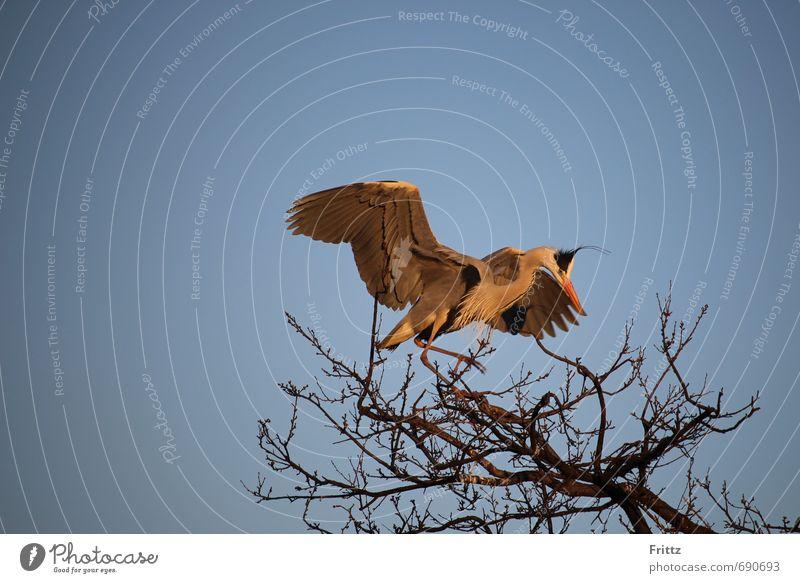 Grey Heron 2 Nature Animal Sky Cloudless sky Beautiful weather Tree Wild animal Bird Wing 1 Flying Natural Above Blue Gray Orange Black White Watchfulness