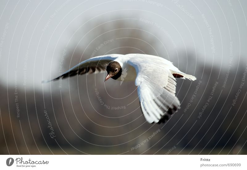 Sky Nature White Animal Black Flying Bird Wild animal Observe Feather Wing Watchfulness Seagull Plumed Aerobatics