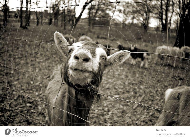 You bitch Goats Thusnelda Goatskin Fence Captured Farm animal Wire netting fence Sheep Goat herd Odor Animal Mammal bitchy Billy goat goat's milk goat peter