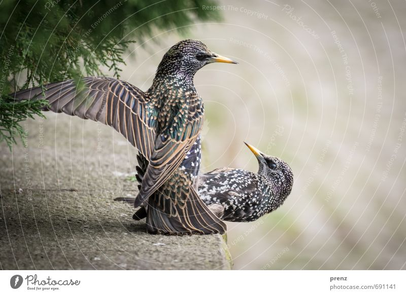 airborne Environment Nature Animal Spring Wild animal Bird 2 Gray Green Starling Judder Colour photo Exterior shot Close-up Deserted Copy Space right Day