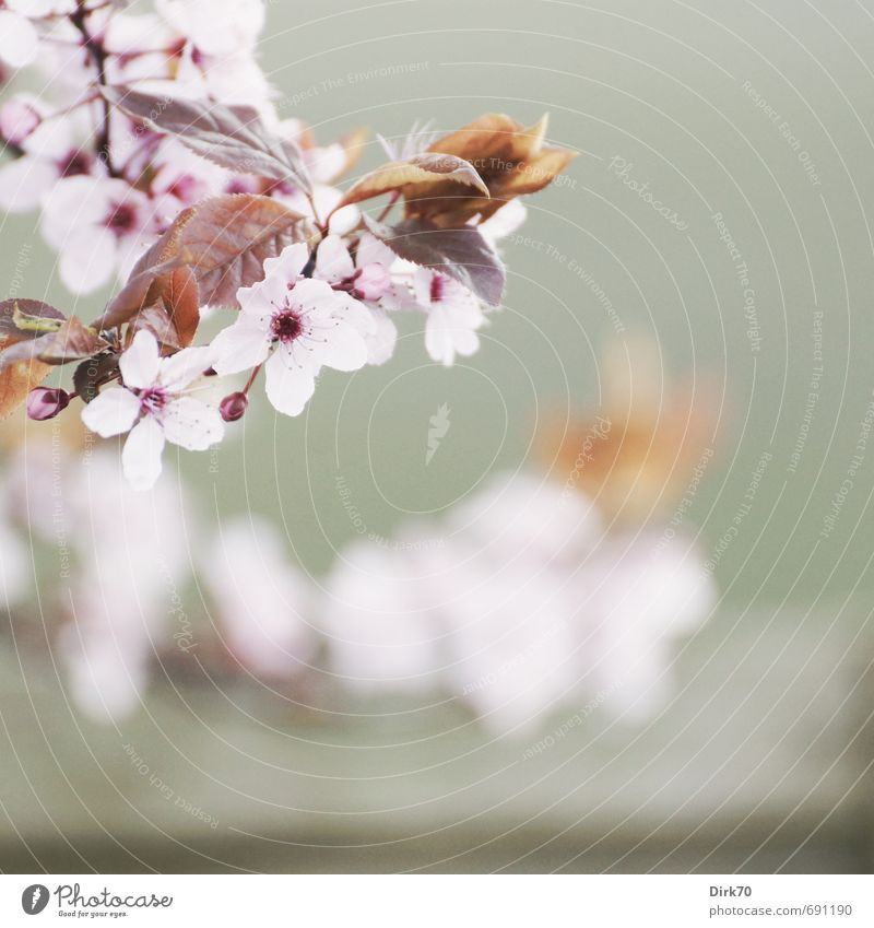 Herald of Spring III Nature Plant Tree Leaf Blossom Ornamental cherry Twig Garden Park Blossoming Fragrance Hang Illuminate Esthetic Happiness Fresh Healthy
