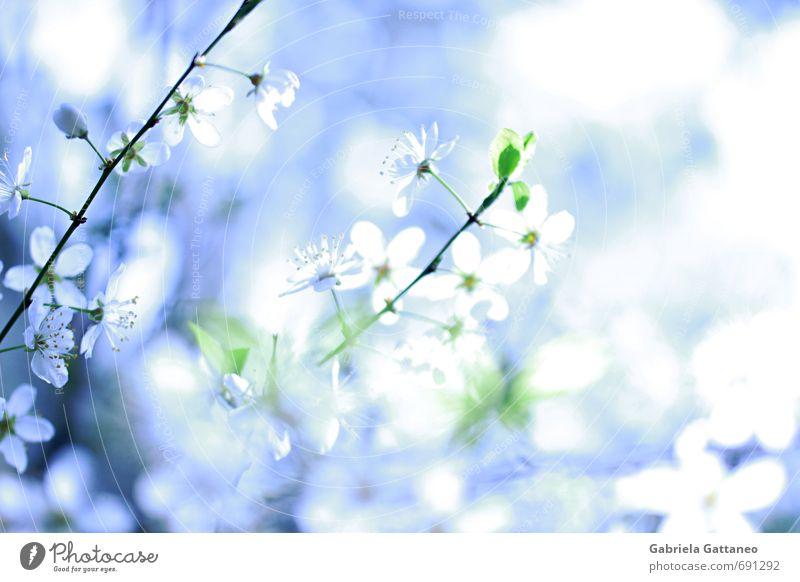 Nature Blue Beautiful White Plant Flower Blossom Fruit trees Yellow plum