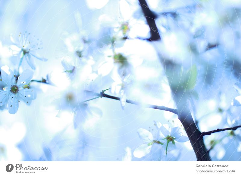 Sea of flowers the third Nature Plant Flower Agricultural crop Beautiful Bright Fruit trees Blue White Branch Blossom Illuminate Spring Colour photo