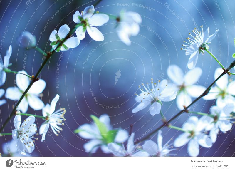 Nature Plant Blue Beautiful White Flower Blossom Spring Small Illuminate Branch Violet Fruit trees