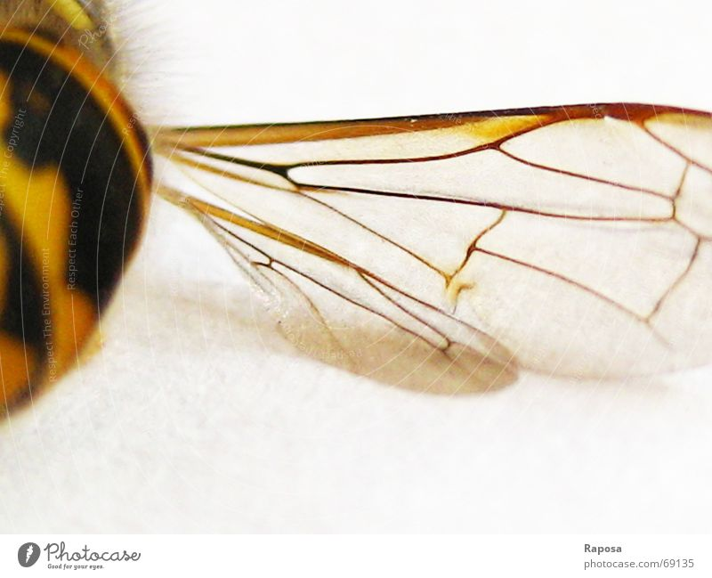 fine lines Animal Insect Hexapod Wasps Black Yellow Striped Bee Small Movement abdomen Wing Net Flying flying machine Macro (Extreme close-up)