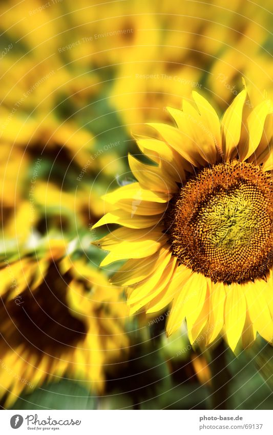 Sunflower of LSD Yellow Green Flower Flower field Field Sunflower field flash