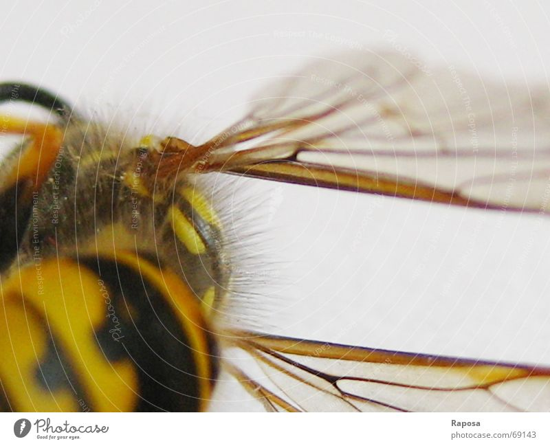 Black Animal Yellow Hair and hairstyles Movement Small Flying Wing Net Insect Bee Striped Feeler Wasps Hymenoptera Hexapod