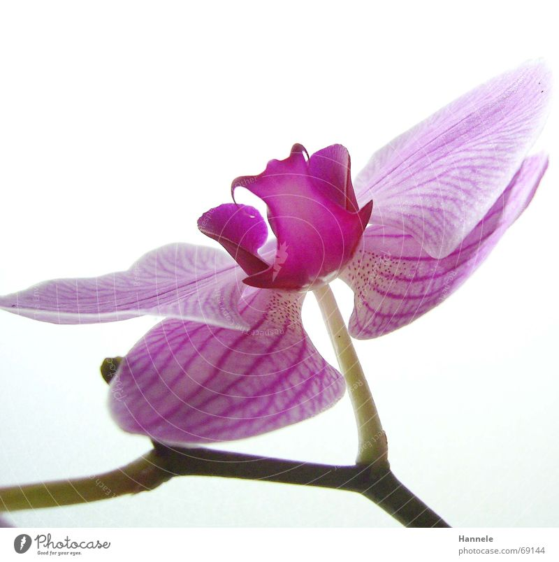 orchdäles colorful2 Orchid Flower Blossom Plant Fragile Delicate Asia Pink Blossoming questionable Bright Nature