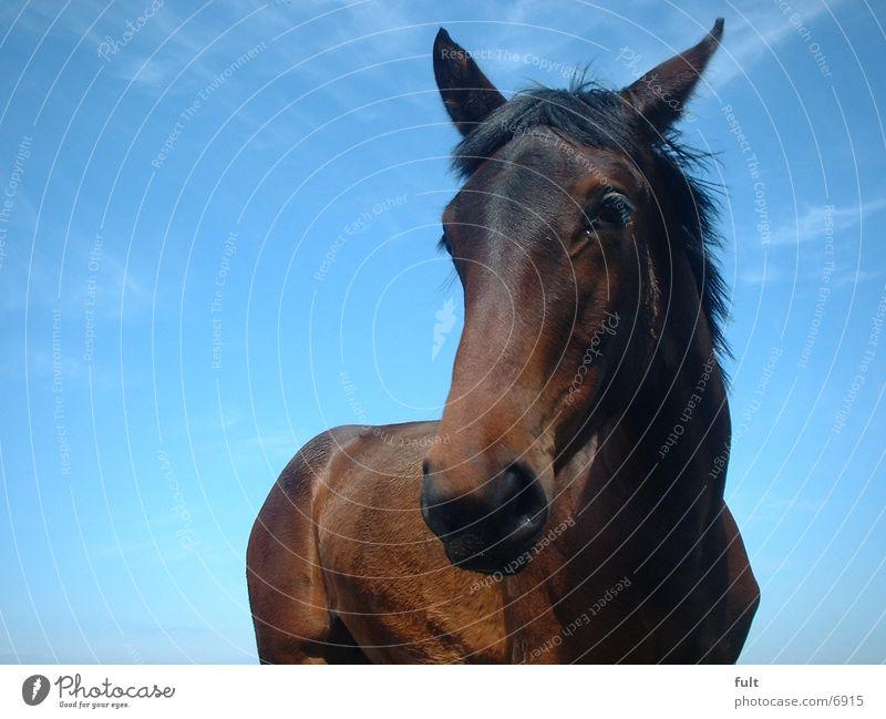 horse Horse Sky Blue ponny