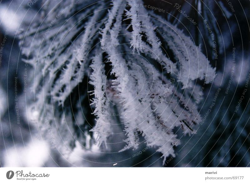 Tree Winter Cold Snow Ice Fir tree Icicle Finland Coniferous trees Fir needle