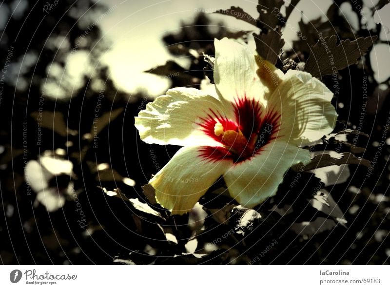hibiscus in summer Flower Summer Sunbeam Blossom Bushes Hibiscus Physics Patch of colour Light Black & white photo Warmth Garden outside Colour Exterior shot