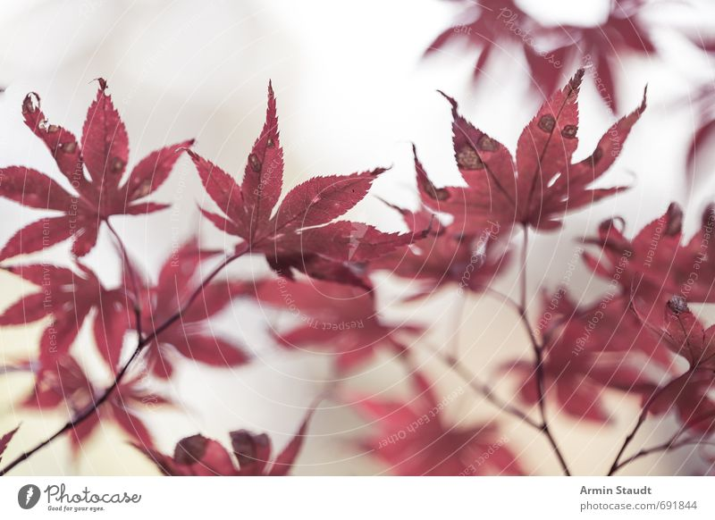Bloody autumn leaves Nature Animal Autumn Fog Plant Tree Leaf Park Old Esthetic Authentic Simple Bright Natural Red White Moody Grief Loneliness Colour