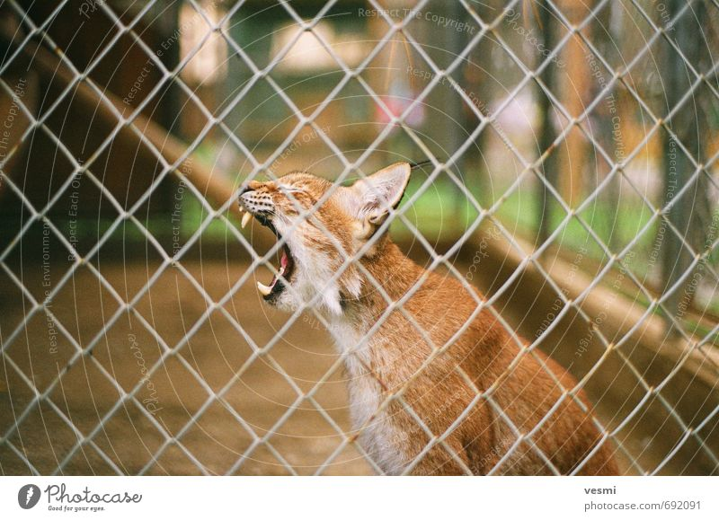 Lynx Summer Zoo Animal Earth Park Wild animal Cat bobcat 1 Aggression Anger Brown Might Animosity savage Roar gnarling Roaring Teeth Colour photo Exterior shot