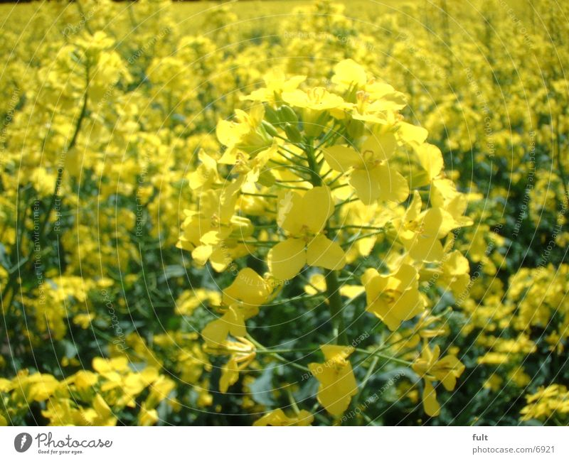 Yellow Field Canola