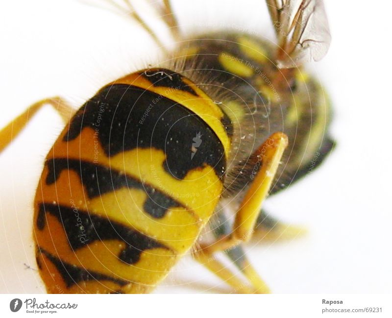 Black Animal Yellow Hair and hairstyles Movement Small Legs Flying Wing Insect Bee Striped Feeler Wasps Hymenoptera Hexapod