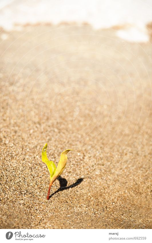 Loner | with shadow II Nature Plant Sand Spring Beautiful weather Leaf Foliage plant Wild plant Germ Plantlet Beach Growth Authentic Simple Elegant Small